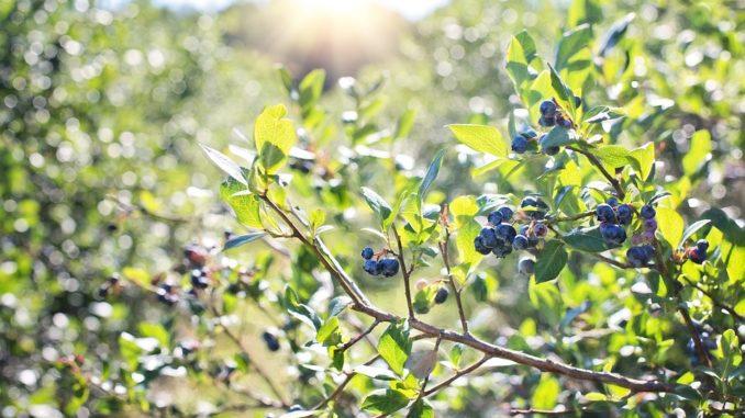 heidelbeere-wald