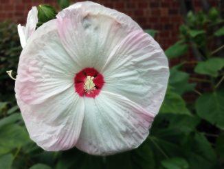 hibiskus-luna