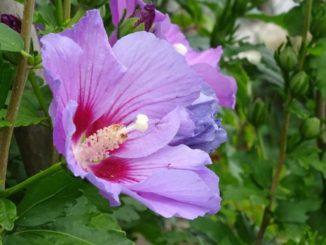 Hibiskushecke mit lilaner Blüte