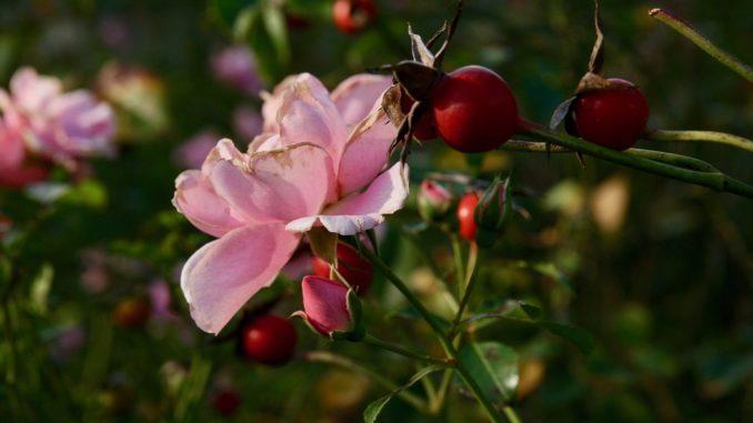 juckpulverpflanze-hagebutte