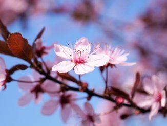 kirschbaumäste klein schneiden