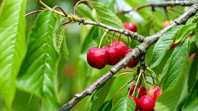 kirschkerne-einpflanzen