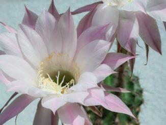 koenigin-der-nacht-pflanze
