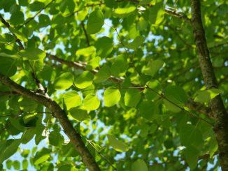 Lebkuchenbaum