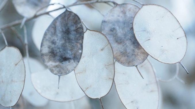 lunaria-silberblatt
