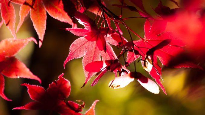 japanischer-ahorn-pflanze