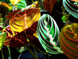 maranta-pflanze