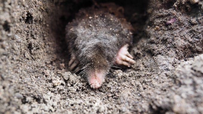 Prächtig Maulwurfbekämpfung – Maulwurfshügel im Garten verhindern #GW_89