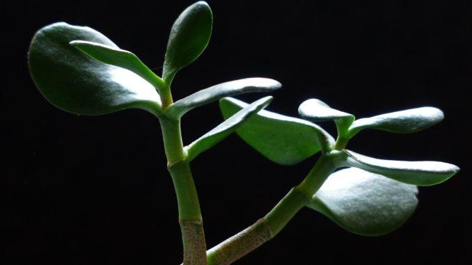 Pfennigbaum (Crassula ovata)