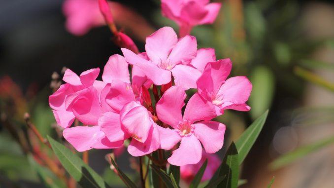 oleander-gelbe-blätter