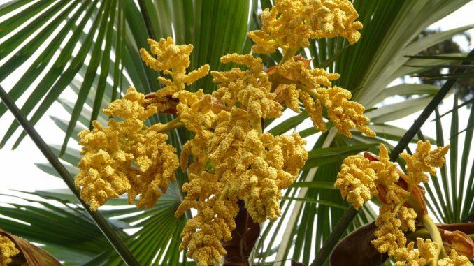 Hanfpalme Blüte