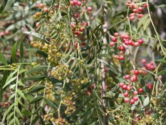 pfefferbaum-als-bonsai