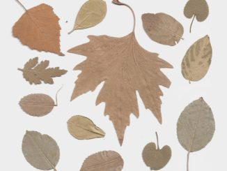 Pflanzenpresse für Herbarium