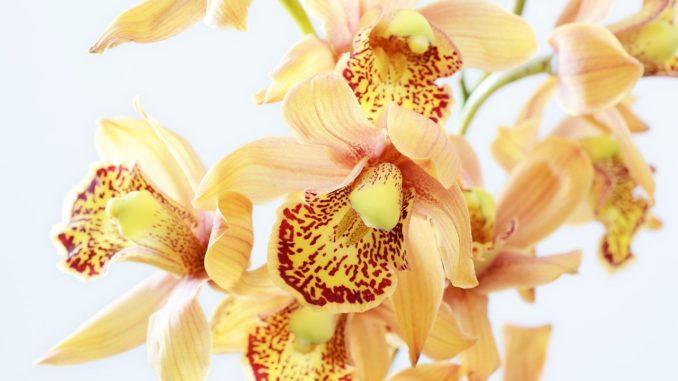 pflege, herkunft der Orchidee