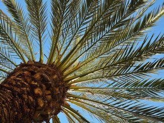 phoenix-palme