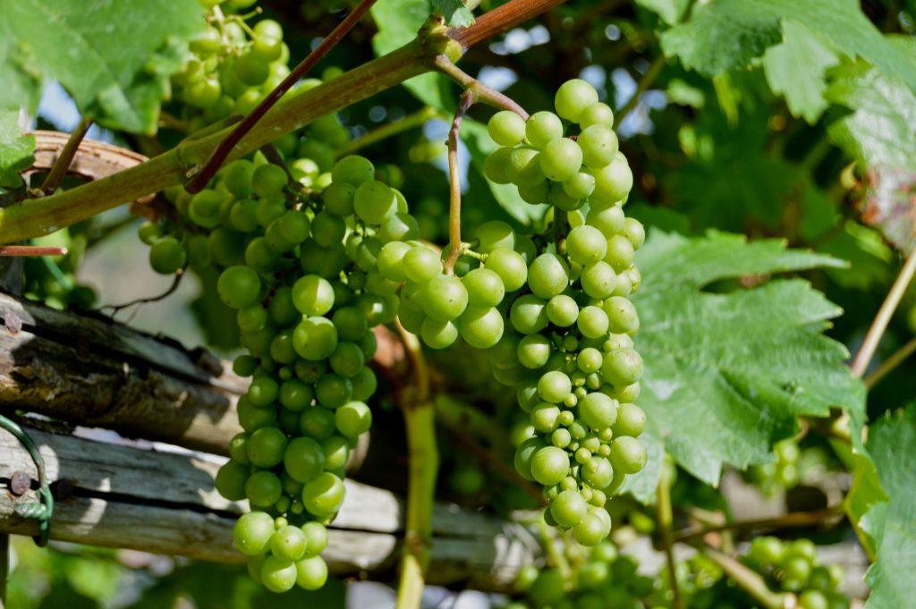 Wein Pflanze