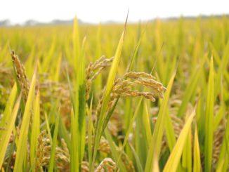 Reis selber anbauen im Garten