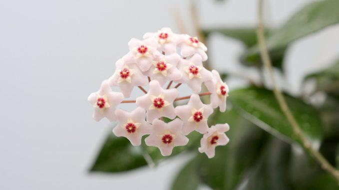 richtige-zucht-und-pflege-der-porzellanblume