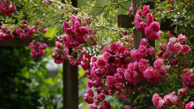 Kletterrose rosa