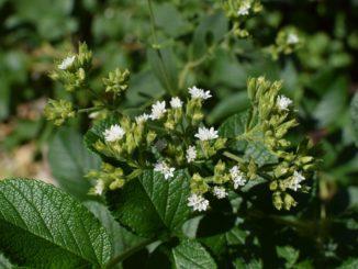 Stevia Pflanze