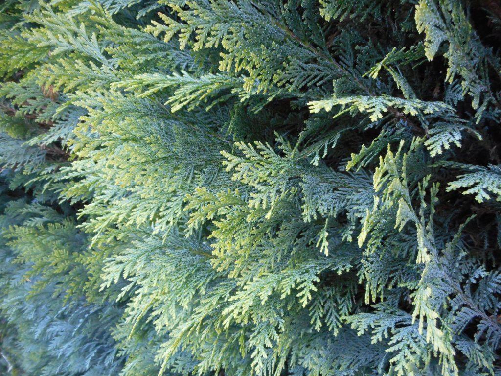 Immergrune Hecken Diese 10 Heckenpflanzen Sind Winterhart