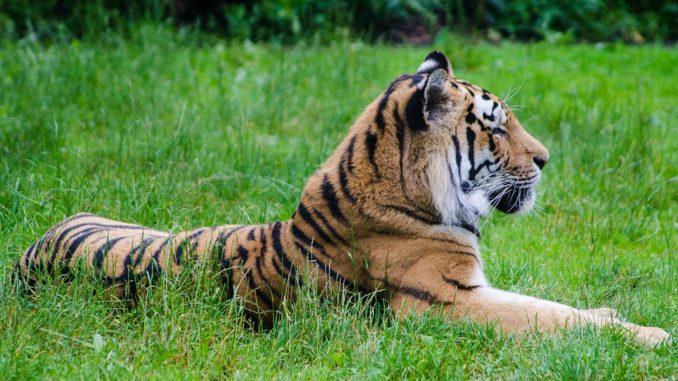 tiger-auf-gras