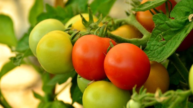 tomaten-pflanzen-wann