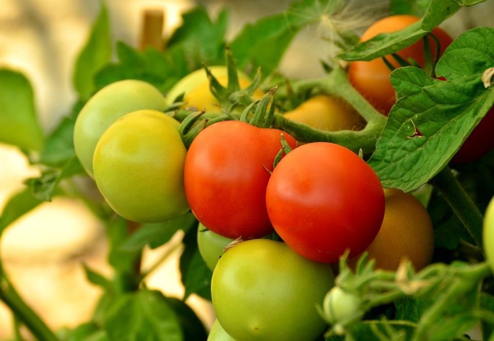Tomaten Wann Pflanzen