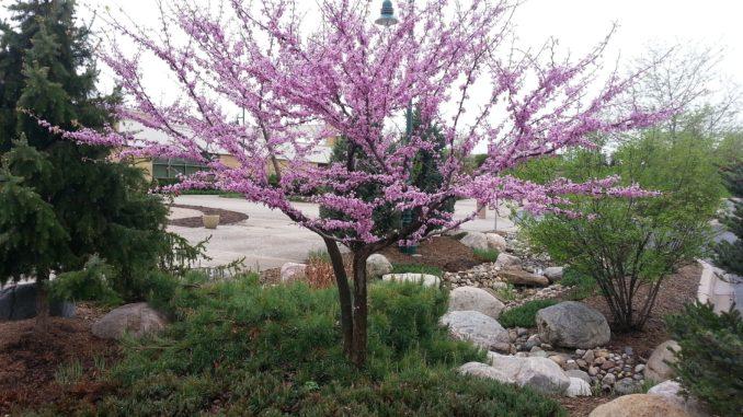 kanadischer judasbaum