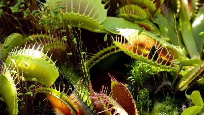 Venusfliegenfalle gegen schwarze mücken