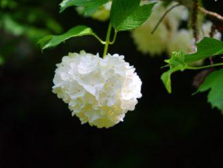 Japanischer Schneeball