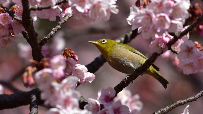 vogel-kirschbaum