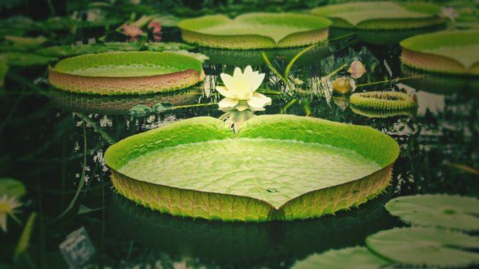 Pool in Teich umgewandelt mit Teichrose