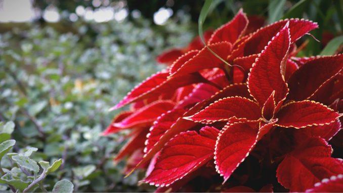 Weihnachtsstern gießen und zurückschneiden
