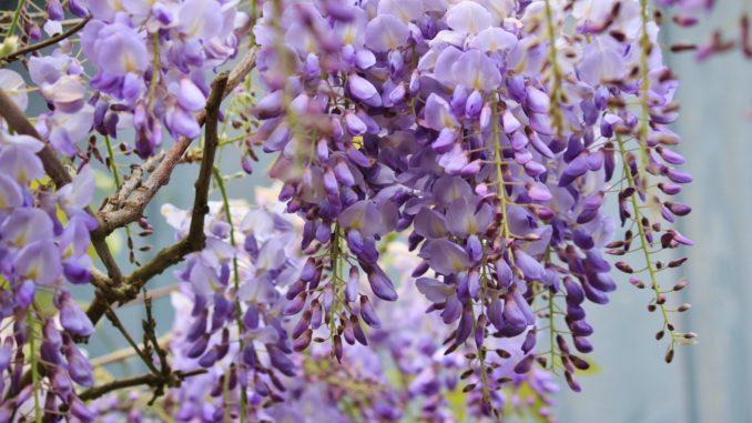 wisteria Blauregen